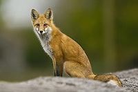 Red Fox sitting and watching from on top of some old hay bales