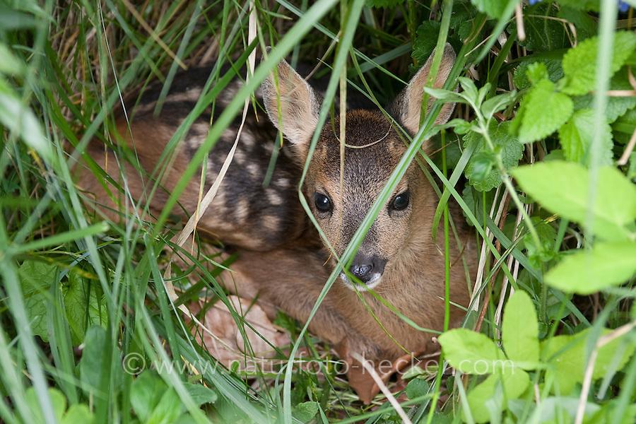 Rehkitz, Reh-Kitz, versteckt sich in der Vegetation, Kitz, Tierkind, Tierbaby, Tierbabies, Europäisches Reh, Ricke, Weibchen, Capreolus capreolus, Roe Deer, Chevreuil