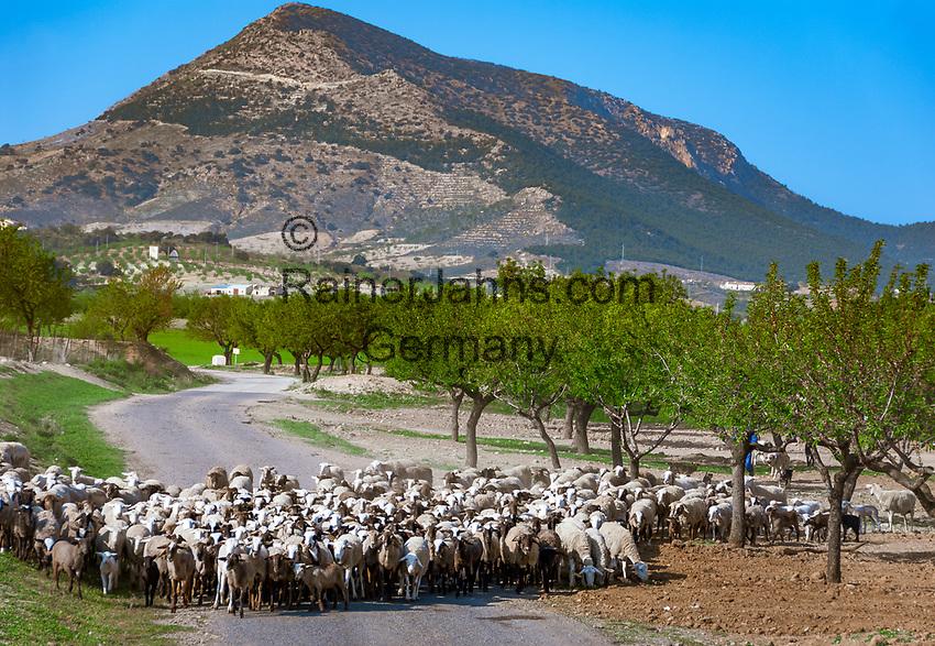 ESP, Spanien, Andalusien, Schafherde, Olivenbaeume, Landstrasse   ESP, Spain, Andalusia, flock of sheep