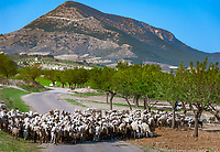 ESP, Spanien, Andalusien, Schafherde, Olivenbaeume, Landstrasse | ESP, Spain, Andalusia, flock of sheep