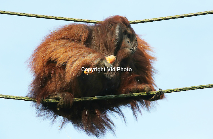 Foto: VidiPhoto<br /> <br /> RHENEN - Een unicum in de historie van Ouwehands Dierenpark in Rhenen. De orang oetans -koukleumen bij uitstek- zijn dinsdag nog steeds buiten. Nog niet eerder konden de mensapen sinds hun komst 40 jaar geleden, in december naar buiten. Nu zelfs op 29 december, terwijl ze ook nog eens kunnen genieten van een zonnetje bij temperaturen rond de 12 graden. Ook voor hen dus een warmterecord. De dierenparken beleven op dit moment toptijden. Door het zachte weer in combinatie met de Kerstvakantie staan er enorme rijen voor de kassa's. Ook dat is al in geen jaren meer voorgekomen.