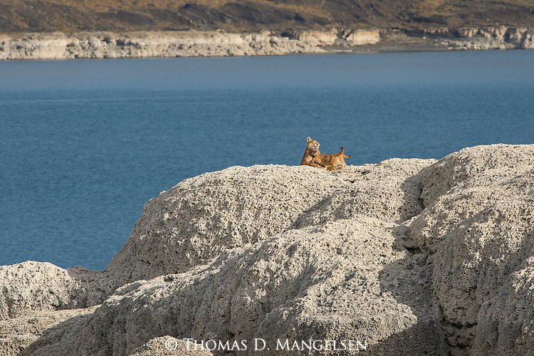A Puma mother grooms her kittens on the rocks in Patagonia, Chile.