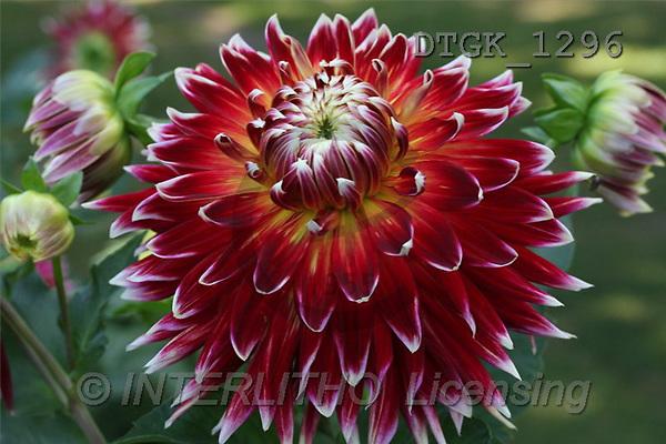 Gisela, FLOWERS, photos(DTGK1296,#F#) Blumen, flores, retrato