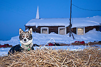 A dropped dog waits on his bed of straw to be flown out of the village checkpoint of Ruby with the Ruby Bible church in the background during the 2010 Iditarod