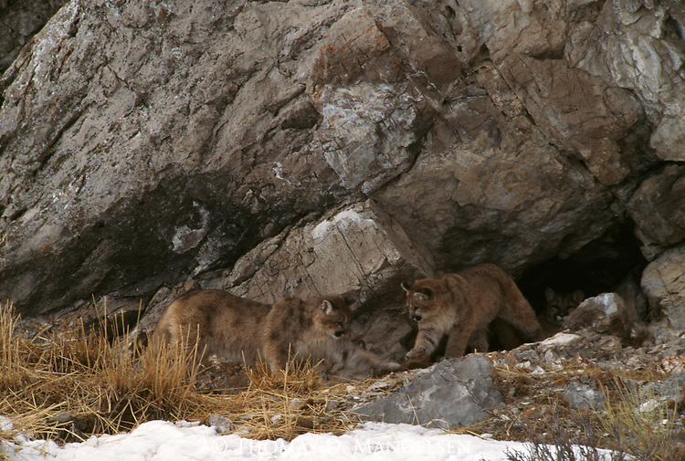 Mountain lion cubs play outside of den in the National Elk Refuge in Jackson Hole, WY