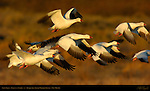 Snow Geese, Sunrise Flyout, Bosque del Apache Wildlife Refuge, New Mexico