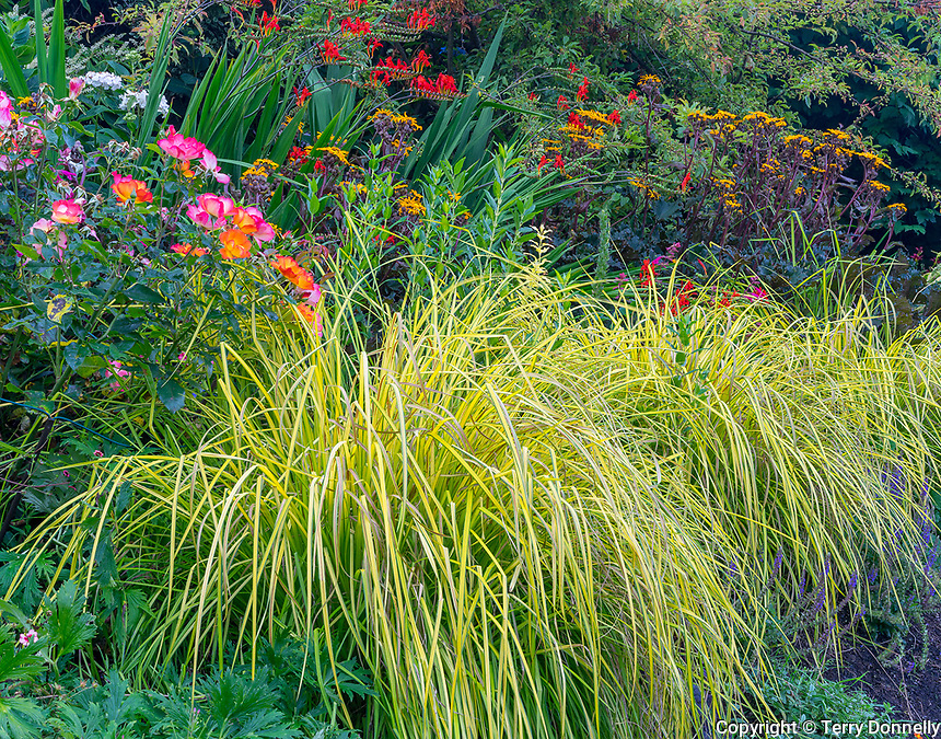 Vashon-Maury Island, WA: Grasses with rose and crocosmia blossoms, detail