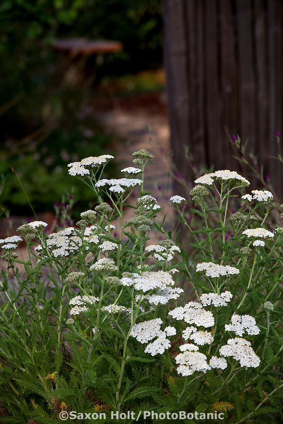 Achillea millefolium,  Yarrow, California native plants, Heath-Delaney garden