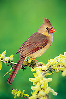 northern cardinal, Cardinalis cardinalis, female on blooming blackbrush acacia, Acacia rigidula, Lake Corpus Christi, Texas, USA, North America