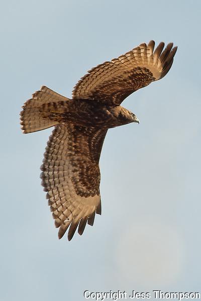 Red-tailed Hawk, Bosque del Apache