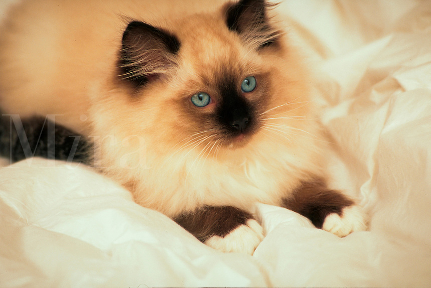 A Ragdoll kitten on a whie blanket.