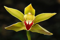 Orchid flower (Cymbidium), blooming, Putumayo Department, Colombia