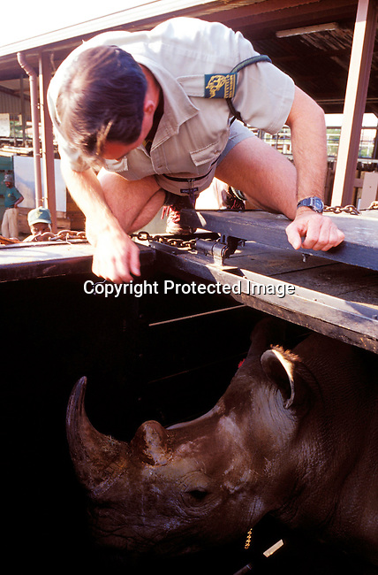 diwlauc00012 .Quinton Rochat, a park employee checks so a white rhino have been loaded correctly in in a box after being sold  during the yearly wildlife auction on June 21, 2002 by the Ezemvelo KZN wildlife at Hluhluwe-iMfolozi Park in Natal, South Africa. Hluhluwe has the most successful rhino program in the world, and was started about one hundred years ago when there were less than a hundred rhinos left on the entire African continent. Around 1960, when the rhino population had recovered, it became necessary to control the amount of animals. They started to move animals to other areas and sell it to parks and game lodges all over the world. The auction took in almost fifteen million rands, which will be used for wildlife conservation. .©Per-Anders Pettersson/iAfrika Photos.