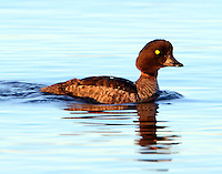 Female Barrow's goldeneye