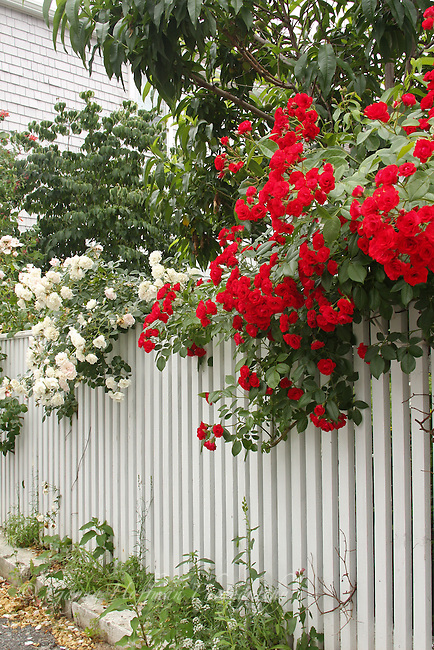 Climbing roses on fence.