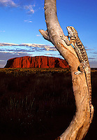 Composite -Bearded Dragon, Lizard and Ayers Rock,Australia.