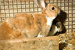 Pair Rex, Domestic rabbits, shedding winter coat