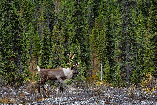 Woodland Caribou or forest-dwelling caribou (Rangifer tarandus caribou) bull.  British Columbia.  Fall.