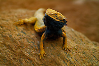 Pogona vitticeps, the Central (or Inland) Bearded Dragon, is a species of agamid lizard occurring in a wide range of arid to semi-arid regions of Australia. A Bearded Dragon in captivity is often a member of this species, they are used as pets and exhibited in zoos.