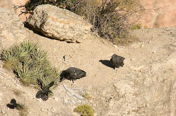 Two immatue California Condors (Gymnogyps californianus) harassing a raven off rocky cliff area.  Western U.S.