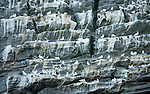 Noup of Noss gannet colony cliffs, Noss, Shetland Islands, Scotland