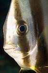 Portrair of a sub adult Circular Spadefish, Platax orbicularis, Yap, Micronesia, Pacific Ocean