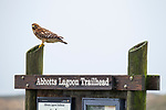 Red-shouldered Hawk<br /> (Buteo lineatus) on trail sign, Point Reyes National Seashore, California