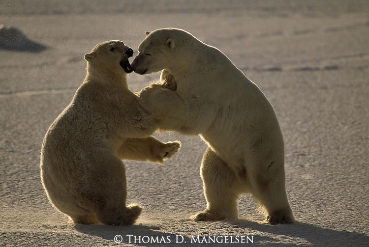 Two polar bears play fight.