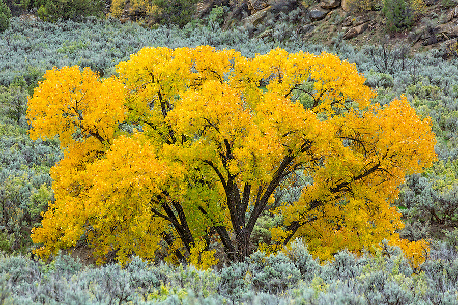 A cottonwood tree is in peak color among sagebrush bushes.  A light rain added to the colors, further saturating them.