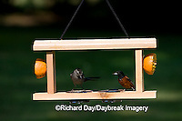 00585-034.07 Gray Catbird (Dumetella carolinensis) & Orchard Oriole (Icterus spurius) male at jelly/orange feeder Marion Co.  IL