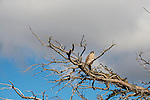 An American Kestrel perches in a tree in Patagonia, Chile.
