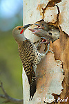 Northern Flicker (Colaptes auratus) feeding three large begging nestlings at nest hole in aspen trunk, Mono Lake Basin, California, USA