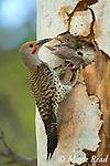 Northern Flicker (Colaptes auratus) feeding three large begging nestlings at nest hole in aspen trunk, Mono Lake Basin, California, USA