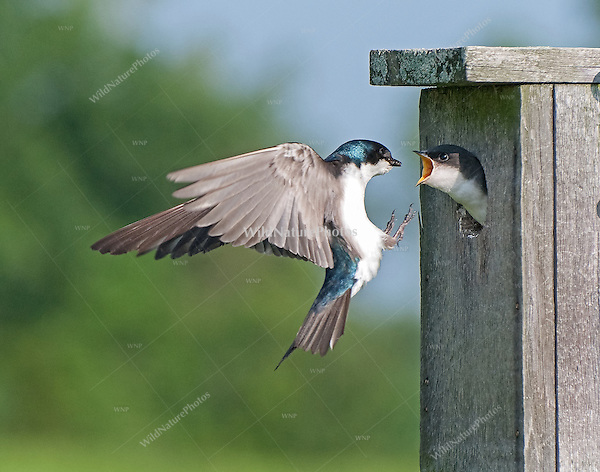 Tree Swallow (Tachycineta bicolor), male bringing food to the nest (Indiana)