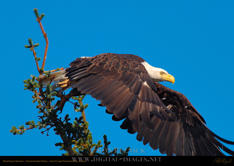 Bald Eagle Takeoff, Silver Salmon Creek, Lake Clark National Park, Alaska