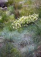 Grass Festuca 'Siskiyou Blue', wildflower Limnanthes douglasii, meadowfoam and Juncus in meadow at Menzies California native plant garden