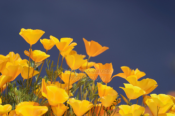 Mexican Gold Poppy (Eschscholzia californica mexicana), blooming, Tonto National Forest, Bartlett Lake , Arizona, USA