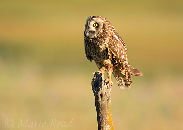 Short-eared Owl (Asio flammeus), adult female calling while perched on fencepost, northern Utah, USA