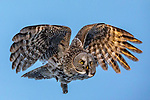 Great gray owl (Strix nebulosa), Canada