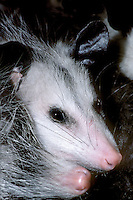 669309001 portrait of two virginia opossums didelphis virginiana huddled together - these animals are wildlife rescue animals and species is widely distriubuted throughout the united states