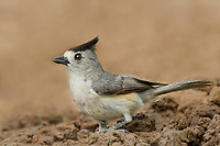 582060021 a wild black-crested tufted titmouse baeolophus atricristatus perches on the ground near a pond on a private ranch in the rio grande valley of south texas