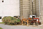 Work horses with cornstalks for silage.