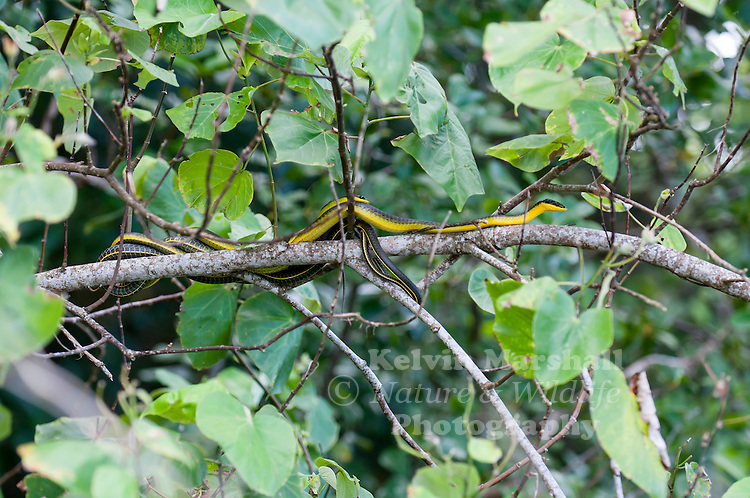 Common tree snakes mating  (Dendrelaphis punctulata) also called green tree snake and Australian tree snake is a slender, large-eyed, non-venomous, diurnal snake of many parts of Australia, especially in the northern and eastern coastal areas, and into Papua New Guinea.