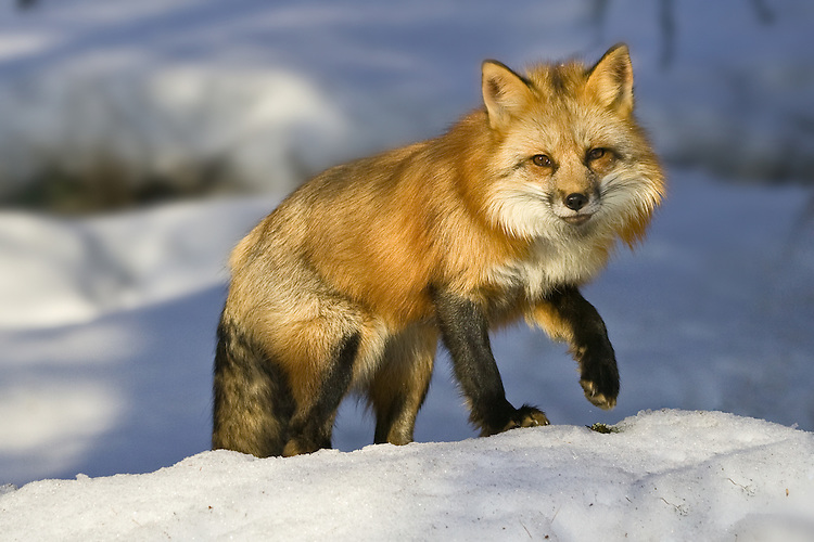 Red Fox walking over the top of a snowy hill - CA