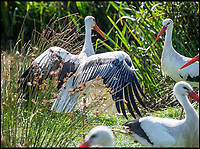 BNPS.co.uk (01202 558833)<br /> Pic: PhilYeomans/BNPS<br /> <br /> White Storks, not seen in the UK for 600 years - Derek is breeding several species of native wild animals to populate his 'stone age' park.<br /> <br /> Back to the future - A farmer is returning his land back to the Stone Age and reintroducing species of wild animals once extinct in the UK - after becoming disenchanted with 'unsustainable' modern farming techniques.<br /> <br /> Derek Gow is using a herd of Nazi-engineered cows to spearhead his radical rewilding scheme that will create the farming version of Jurassic Park.<br /> <br /> The Heck cows that died out in the Iron Age were re-established in Nazi Germany in the 1930s as part of a genetics programme to create a breed of super cattle.<br /> <br /> Joining them on Mr Gow's 115 acre ring-fenced plot of upland in Devon will be rabbit-eating wildcats, wild boar and beavers.