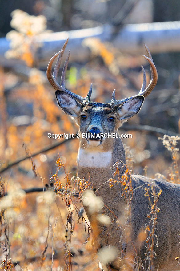 00274-403.11 White-tailed Deer Buck stares from opening in forest where it was feeding on goldenrod during fall.  Note bark in antlers from rubbing. Rut, food, feed, acorns.