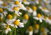 Beautiful field of Chamomile flowers in Cyprus.
