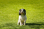 Spaniel type dog