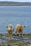 Veau sur l'île d'Inishmore.Calf on the Inishmore island