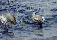 Pacific spotted dolphin, Stenella attenuata. Hawaii.